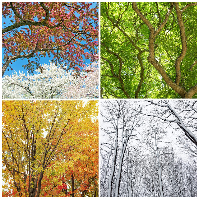 Collage of four seasons of trees, pink and white blooming trees green leafy trees yellow and orange leafed trees snow covered trees with no leaves