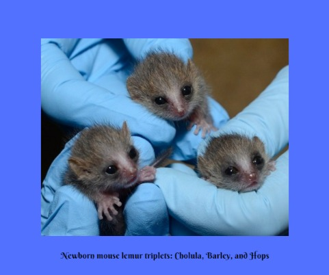 Three baby lemurs being held by blue gloved hands
