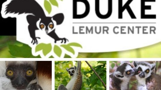 Duke Lemur Center logo on top of lemur close up, lemur hanging from tree, and lemur licking other lemur