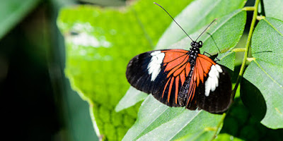 a butterfly with black, white and orange wings resting on a green leaf