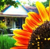 house with sunflower close up